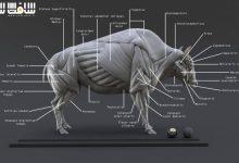دانلود مدل سه بعدی آناتومی گاومیش